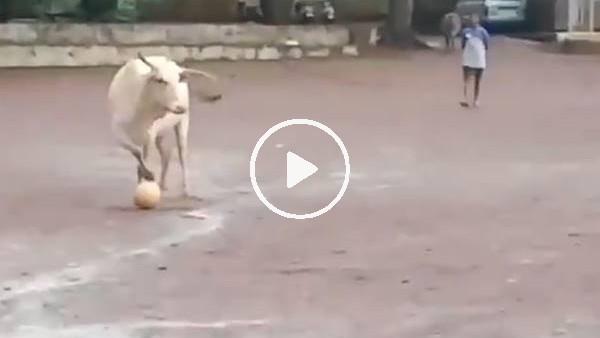 Hindistan'da çocuklarla top oynayan inek gündem oldu